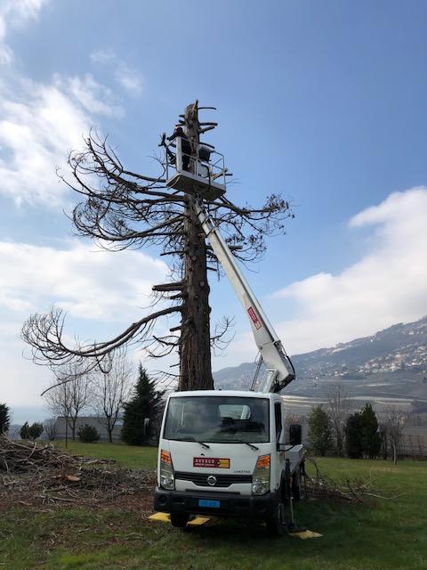 Séquoia mort (foudroyé) en Suisse(sculpture 8m.en cours.)àsuivre…..